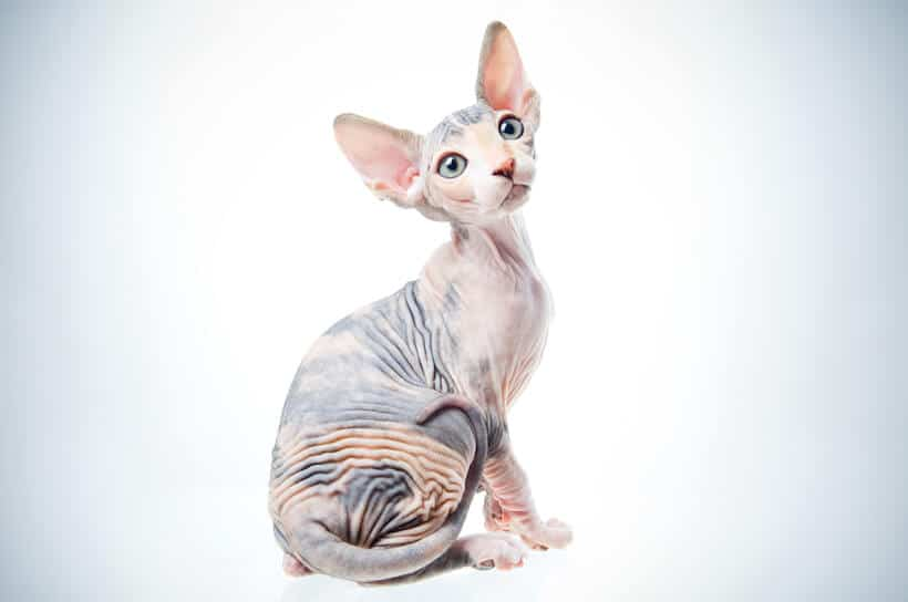 seated cat with no hair